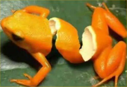 sliced-organge-frog.jpg